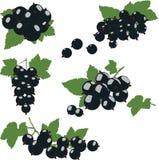 Группа черной смородины с зелеными листьями Стоковые Фото