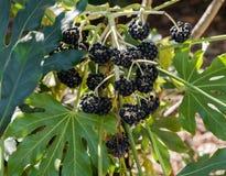 Группа черных японских ягод japonica fatsia аралии стоковое изображение