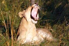 Группа львов Стоковая Фотография