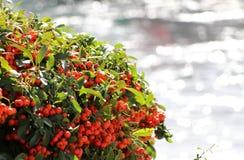 Группа Ashberry с красными листьями ягоды и зеленого цвета Стоковые Изображения