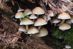 Группа fasciculare Hypholoma вихора серы Стоковое Изображение