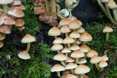 Группа fasciculare Hypholoma вихора серы Стоковая Фотография