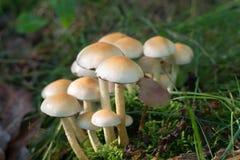 Группа fasciculare Hypholoma вихора серы Стоковые Изображения