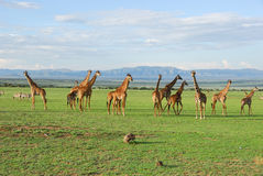 группа giraffe стоковые изображения rf