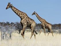 группа giraffes Стоковое Фото