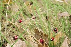 Группа ladybirds на траве Стоковая Фотография RF