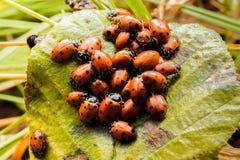 Группа ladybugs на упаденных лист Стоковые Изображения RF
