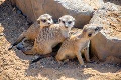 Группа Meerkats Стоковые Изображения RF