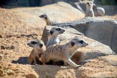Группа Meerkats Стоковые Фотографии RF