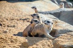 Группа Meerkats Стоковое Изображение RF