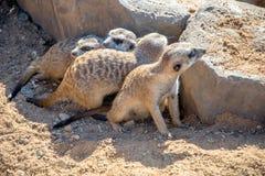 Группа Meerkats Стоковые Изображения