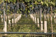 Группы виноградин в винограднике Стоковое фото RF