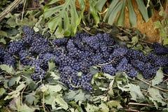 Группы виноградин в поле Стоковые Фото