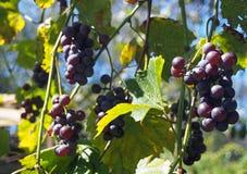 Группы виноградин в саде Стоковая Фотография RF