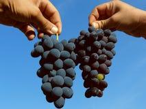 2 группы виноградин Стоковое Фото