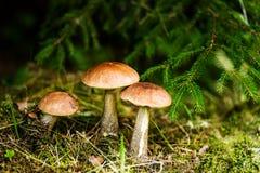 Группы в составе 3 гриба boletes Стоковая Фотография