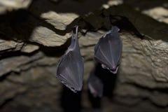 Группы в составе летучие мыши спать в пещере Стоковое Изображение RF