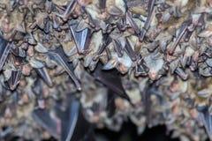 Группы в составе летучие мыши спать в пещере Стоковые Фотографии RF