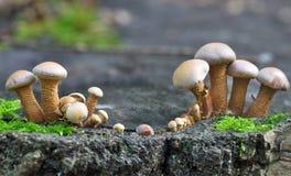2 группы в составе коричневые toadstools Стоковое Изображение
