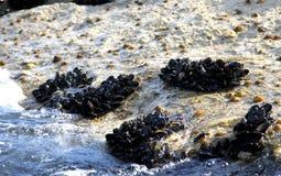 Группы в составе наяды и мидии на утесах морем стоковые изображения rf