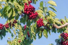 Группы зрелых красных вишен на ветви дерева с голубым небом в предпосылке Стоковые Изображения RF