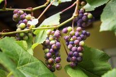 Группы зрея виноградин Стоковое Изображение