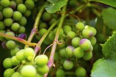 Группы зрея виноградин Стоковые Фото