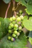 Группы зрея виноградин Стоковая Фотография RF