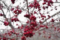 Группы красного цвета завяли ягоды вися от дерева Стоковые Изображения RF