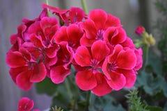 Группы красных цветков найденных в Техасе Стоковая Фотография