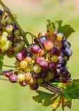 Группы красочных виноградин вина Стоковое Изображение RF