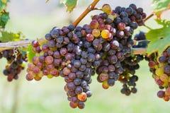 Группы красочных виноградин вина Стоковое Изображение