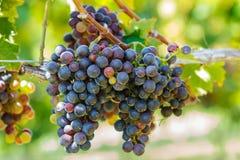 Группы красочных виноградин вина Стоковая Фотография