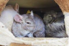 Группы шиншиллы спать в отверстии Стоковое фото RF