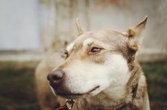 Грустная бежевая собак-шавка на поводке и взгляды прямо Конец-вверх, селективный фокус стоковая фотография rf