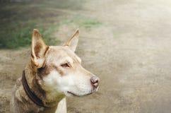 Грустная бежевая собак-шавка на поводке Конец-вверх, селективный фокус стоковая фотография rf