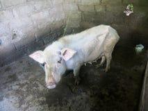 Грустная выглядя тонкая свинья в свинарнике стоковое фото rf