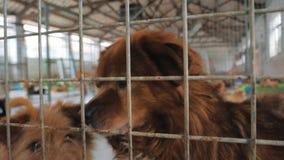 Грустные собаки в укрытии ждать быть спасенным и принятым к новому дому Укрытие для концепции животных видеоматериал