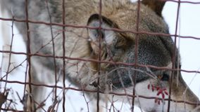 Грустный серый волк в плене на зоопарке акции видеоматериалы