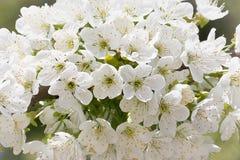 Груша весны Стоковое фото RF
