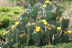 груша кактуса шиповатая стоковые фото