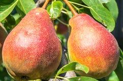 Груша на дереве Стоковая Фотография RF