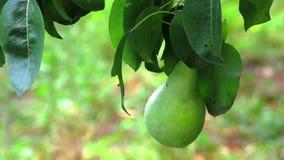 Груша на дереве Разветвите с грушей на дереве Созретая груша в Солнце вися грушевое дерев дерево Зрелая груша на дереве сток-видео