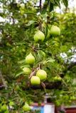 Груша приносить на дереве в саде плодоовощ стоковое изображение