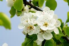 груша цветения Стоковые Изображения RF
