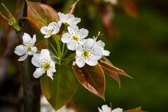 груша цветения Стоковая Фотография