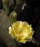 груша цветка шиповатая Стоковые Фотографии RF