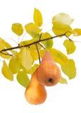 2 груша Bosc на ветви с желтыми листьями Стоковое Изображение
