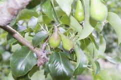 Грушевое дерев дерево и некоторое из его плодоовощ ` s Стоковое Фото