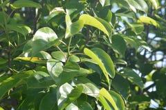 Грушевое дерев дерево с их зелеными листьями стоковая фотография rf